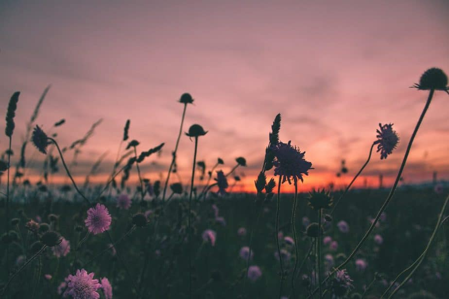 flowers in field at magic hour